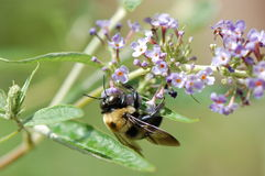 Carpenter Bee on Buddleia flower. A carpenter bee hangs from a buddleia blossom while gathering pollen stock images