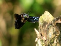 CARPENTER BEE. A CARPENTER BEE CAPTURED WHEN FLYING TO THE WOOD royalty free stock photo