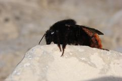 Carpenter bee. Beetle bug bugs bees insect insects sting royalty free stock image
