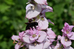 Carpenter bee and clary sage flower. Insect and Clary sage flower in the noonday sun stock photo