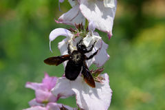 Carpenter bee and clary sage flower. Insect and Clary sage flower in the noonday sun royalty free stock photos