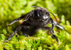 Carpenter bee en face attitude of combat Royalty Free Stock Images