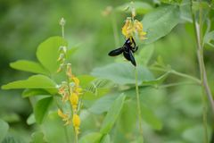 Feeding time for the carpenter bee. A carpenter bee feeding from a bright yellow flower stock images