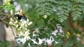 Carpenter bee Feeding on Flower Nectar and Pollen in the natural. stock video footage