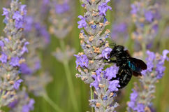 Carpenter bee feeding on lavender flower Royalty Free Stock Photos