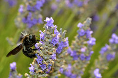 Carpenter bee feeding on lavender flower Stock Photo