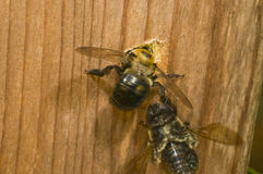 Carpenter Bee female digging nest hole. The carpenter bee, so known because it digs holes in wood for its nest, is found worldwide. The bee is borning into a Royalty Free Stock Photo