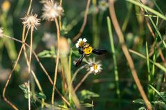 Carpenter bee on a flower. Carpenter bee macro in the nature or in the garden stock images