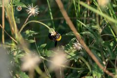 Carpenter bee on a flower. Carpenter bee macro in the nature or in the garden stock photos