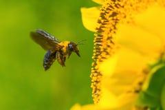 Carpenter Bee Flying Stock Photo