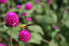 Carpenter bee on a globe amaranth flower. Sipping nectar Stock Photos