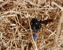 Carpenter bee in hay. We spotted the first carpenter bee this year on the coming of spring royalty free stock photography