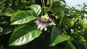 Carpenter Bee hovering over a granadilla flower. A close up view of a large carpenter bee hovering over a granadilla flower Stock Photos