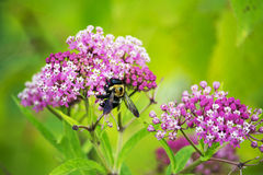 Carpenter bee. A large black and yellow bee in the carpenter class collect pollen from purple flowers.  They are solitary bees Stock Images