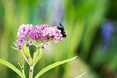 Carpenter bee Stock Photo