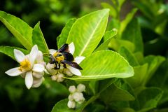 Carpenter bee. On lemon flower stock images