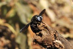 Carpenter Bee. A macro shot of a carpenter bee stock photography