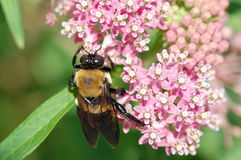 Carpenter Bee on Milkweed Flower. A carpenter bee hangs from a buddleia blossom while gathering pollen stock photos
