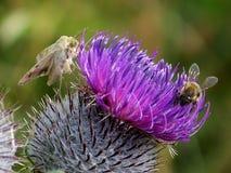 Carpenter-bee. And moth thistle pollen hoard stock photos