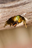 Carpenter bee in the nature Royalty Free Stock Images