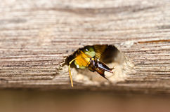 Carpenter bee in the nature Stock Photo