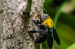 Carpenter bee in the nature. Or in the garden.It's danger royalty free stock photography