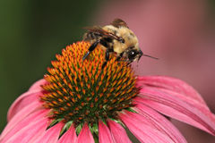 Carpenter Bee. A Carpenter Bee Nectaring On A Coneflower, Xylocopa micans royalty free stock image