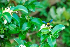 Carpenter bee with flower. Carpenter bee on orange jasmine flower stock images