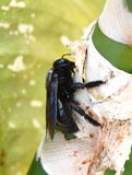 Carpenter bee Royalty Free Stock Photos