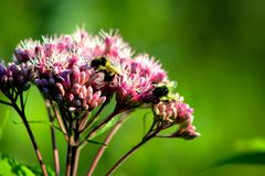 Carpenter Bee Perched on Pink Flower Royalty Free Stock Photo