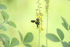 Carpenter bee Stock Photography