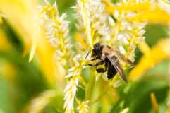 Carpenter bee pollinating Stock Image