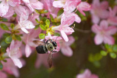 Carpenter Bee Pollinating Pink Azalea Flowers Royalty Free Stock Photography