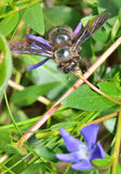 Carpenter bee species xylocopa violacea Royalty Free Stock Photography