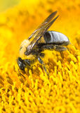 Carpenter bee on sunflower Royalty Free Stock Photography