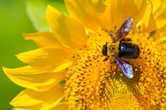 Carpenter bee on sunflower Royalty Free Stock Image
