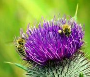 Carpenter-bee. Two carpenter-bee thistle pollen hoard stock image