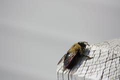 Carpenter bee on White wood post Stock Photos