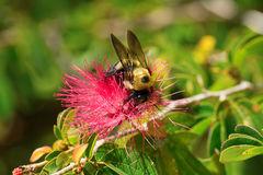 Carpenter bee working, pollinating and feeding on a powder puff flower in spring on a sunny afternoon Stock Images