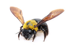 Carpenter bee Xylocopa. Pubescens on white background stock image