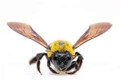 Carpenter bee Xylocopa Royalty Free Stock Image