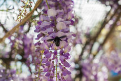 Carpenter bee & x28;Xylocopa Valga& x29; pollinate purple and lavender Wis. Teria flowers. Selective focus Stock Photos