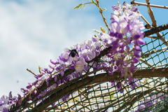 Carpenter bee & x28;Xylocopa Valga& x29; pollinate purple and lavender Wis Royalty Free Stock Photography