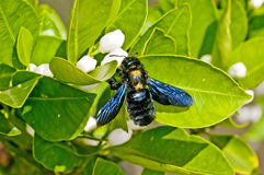 Carpenter bee,Xylocopa violacea L. Stock Images