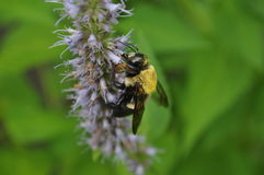 Carpenter Bee Royalty Free Stock Photo