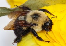 Carpenter Bee on Yellow Flower Stock Photography