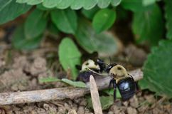 Carpenter bees aka bore bees. Pesky but mostly harmless carpenter bees outdoors royalty free stock image