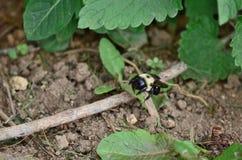 Carpenter bees aka bore bees. Pesky but mostly harmless carpenter bees outdoors stock photos