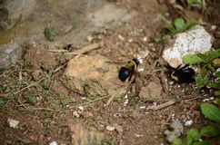 Carpenter bees aka bore bees. Pesky but mostly harmless carpenter bees outdoors stock photography
