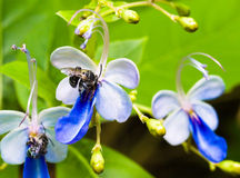 Carpenter Bees On Flowers With Ant Royalty Free Stock Photo